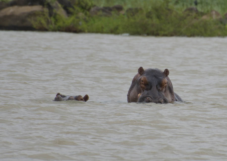 Two hippopotamuses in Lake Tana, Ethiopia