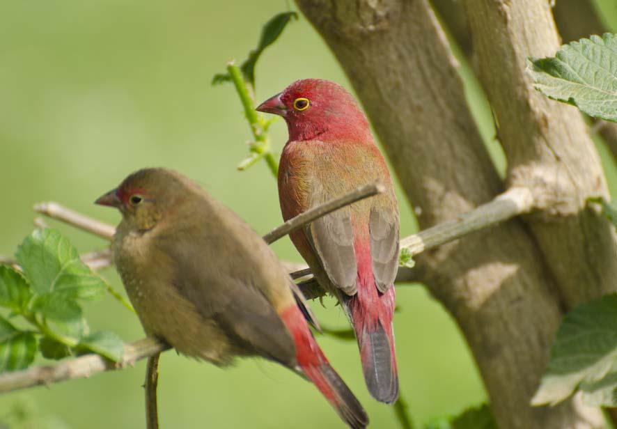 Crimson wild birds, Ethiopia