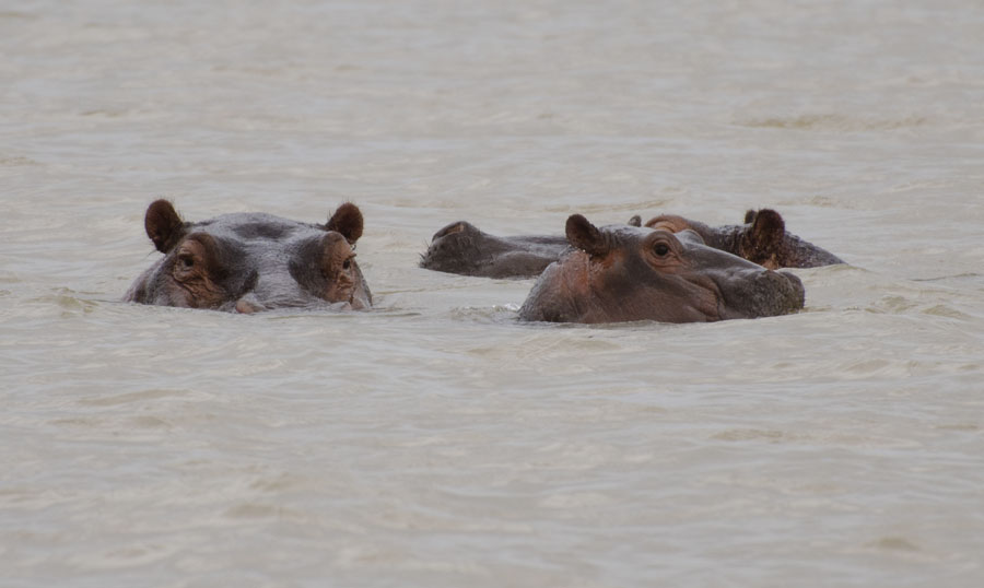 Hippos on Lake Tana, Ethiopia