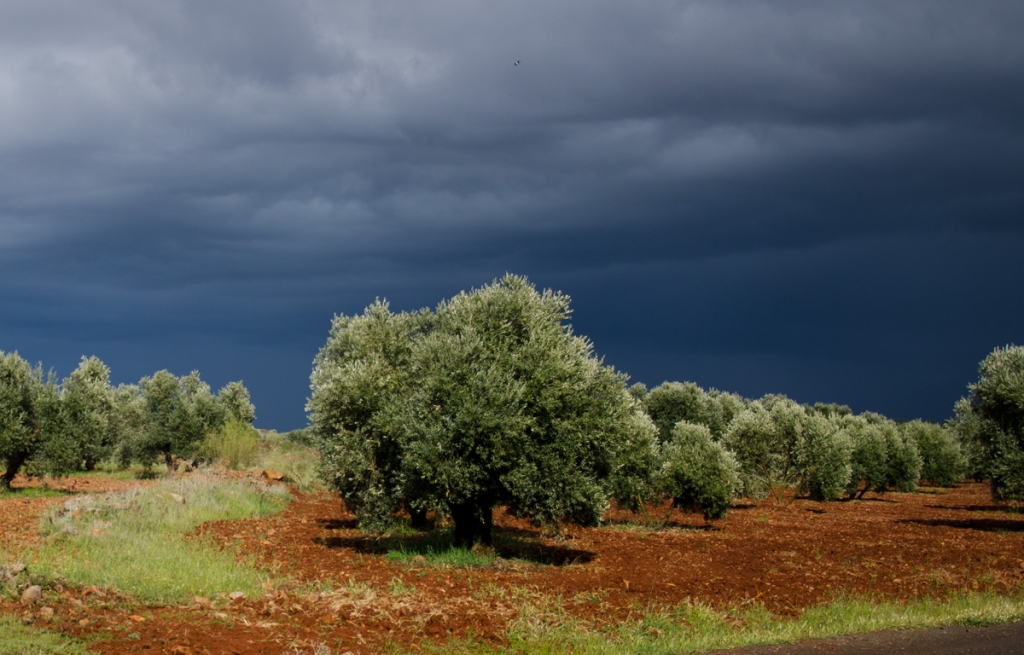 Olive grove with storm sky, Andulusia, Spain