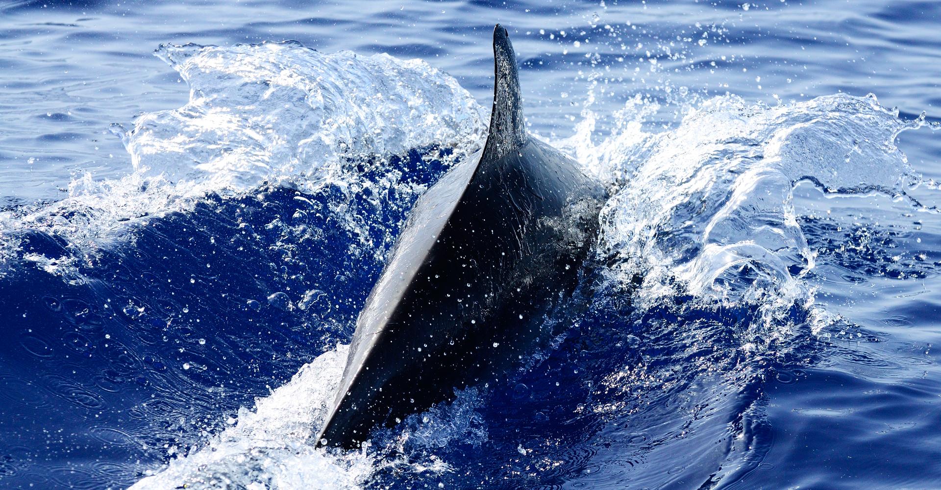 Dolphin, La Gomera 2013